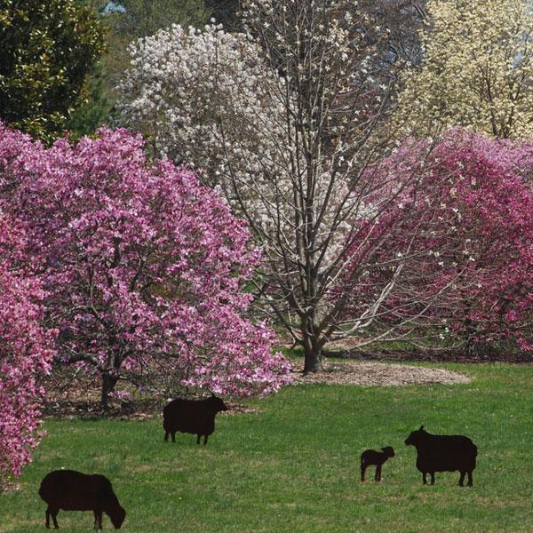 Morris-Spring-Magnolias-PaulMeyer-600px